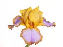 Singolo fiore del Lasso del Brown della cultivar dell'iride Fotografia Stock Libera da Diritti