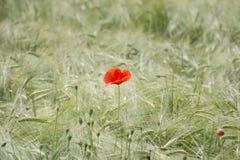 Singolo fiore del papavero sul giacimento di grano Fotografia Stock Libera da Diritti
