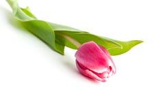 Singolo fiore del tulipano Fotografia Stock