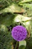 Singolo fiore dell'allium (christophii) dell'allium, Germania Immagine Stock Libera da Diritti