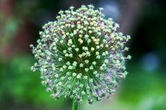 Singolo fiore dell'allium con la testa di bianco Immagini Stock Libere da Diritti