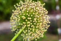 Singolo fiore dell'allium con la testa di bianco su un fondo del giardino Fotografie Stock Libere da Diritti