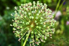 Singolo fiore dell'allium con la testa di bianco su un fondo del giardino Fotografia Stock Libera da Diritti