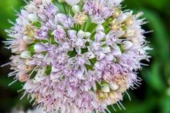 Singolo fiore dell'allium con la testa di bianco su un fondo del giardino Fotografia Stock