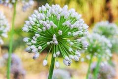 Singolo fiore dell'allium con la testa di bianco su un fondo del giardino Fotografie Stock
