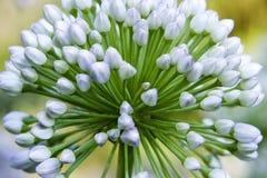 Singolo fiore dell'allium con la testa di bianco su un fondo del giardino Fine in su Fotografie Stock Libere da Diritti