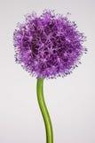 Singolo fiore dell'allium con la testa luminosa della viola su un fondo bianco Fotografia Stock