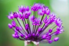 Singolo fiore dell'allium con la testa luminosa della viola su un fondo del giardino Fotografie Stock