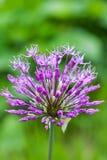 Singolo fiore dell'allium con la testa luminosa della viola su un fondo del giardino Fotografia Stock