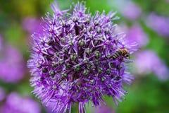 Singolo fiore dell'allium con la testa luminosa della viola su un fondo del giardino Immagini Stock