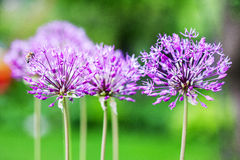 Singolo fiore dell'allium con la testa luminosa della viola su un fondo del giardino Immagine Stock