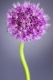 Singolo fiore dell'allium con la testa luminosa della viola su un fondo di porpora Fotografia Stock