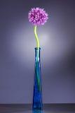 Singolo fiore dell'allium con la testa luminosa della viola in vaso su un fondo porpora Fotografie Stock