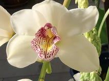 Singolo fiore dell'orchidea Immagine Stock