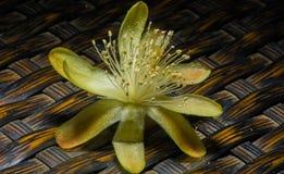 Singolo fiore della barriera del cactus di hildmannianus sbalorditivo del saguaro Fotografia Stock Libera da Diritti