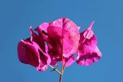 Singolo fiore della buganvillea contro il chiaro cielo fotografie stock libere da diritti