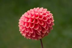 Singolo fiore della dalia Immagini Stock Libere da Diritti