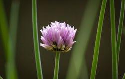 Singolo fiore della erba cipollina Fotografia Stock