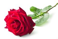 Singolo fiore della rosa rossa Immagini Stock