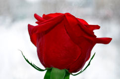 Singolo fiore della rosa rossa su fondo bianco Immagini Stock