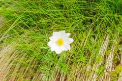 Singolo fiore di alpina del Pulsatilla nelle montagne carpatiche Fotografia Stock