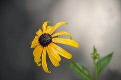 Singolo fiore di Rudbeckia Immagine Stock Libera da Diritti