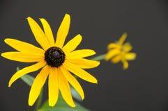 Singolo fiore di Rudbeckia Immagini Stock