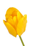 Singolo fiore di un tulipano giallo Fotografia Stock Libera da Diritti