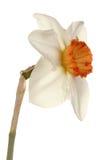 Singolo fiore di una cultivar del daffodil immagine stock