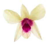 Singolo fiore giallo dell'orchidea con il centro rosa Fotografia Stock Libera da Diritti