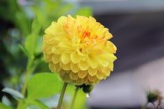 Singolo fiore giallo della dalia fotografie stock