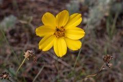 Singolo fiore giallo luminoso del primo piano fotografia stock libera da diritti