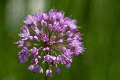 Singolo fiore lilla di allium di fioritura in giardino su fondo verde Immagine Stock Libera da Diritti