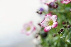 Singolo fiore muscoso bianco della sassifraga Immagini Stock