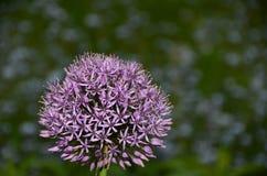 Singolo fiore porpora dell'allium contro il fondo vago del fiore Fotografie Stock