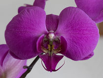 Singolo fiore porpora dell'orchidea Fotografia Stock