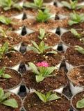 Singolo fiore in POT fotografia stock libera da diritti