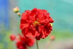 Singolo fiore rosso del geum Fotografie Stock Libere da Diritti