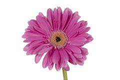 Singolo fiore su un fondo bianco Fotografia Stock Libera da Diritti