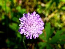 Singolo fiore viola Fotografia Stock Libera da Diritti