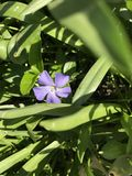 Singolo fiore viola Fotografie Stock