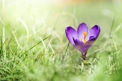 Singolo fiore viola del croco al marzo Immagine Stock Libera da Diritti
