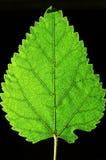 Singolo foglio verde Fotografia Stock