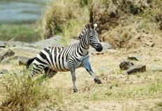Singolo funzionamento della zebra (Equids africano) Fotografia Stock Libera da Diritti