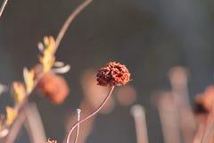 Singolo fuoco del grano saraceno Fotografia Stock