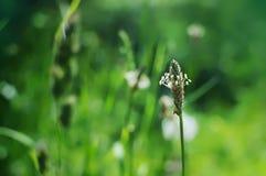 Singolo gambo del fiore bianco del plantano Fotografia Stock