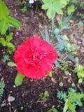 Singolo garofano di fioritura fotografia stock libera da diritti