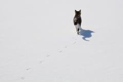 Singolo gatto che cammina nella neve con le piste e l'ombra. Fotografie Stock