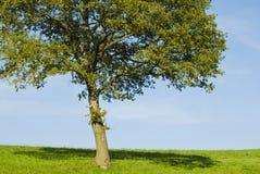 Singolo giovane albero di quercia Immagini Stock Libere da Diritti