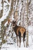 Singolo giovane cervus elaphus nobile dei cervi nobili con i bei corni fra la betulla innevata Forest European Wildlife Landscape immagini stock libere da diritti